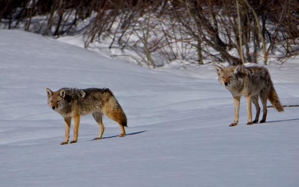 Casino Coyotes