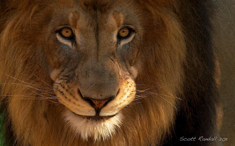 male lion | scottseyephotos