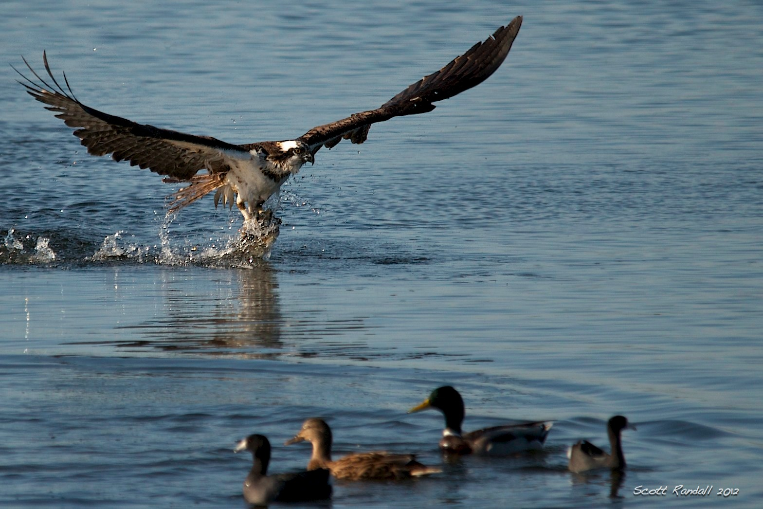 Osprey fishing scottseyephotos for Osprey catching fish