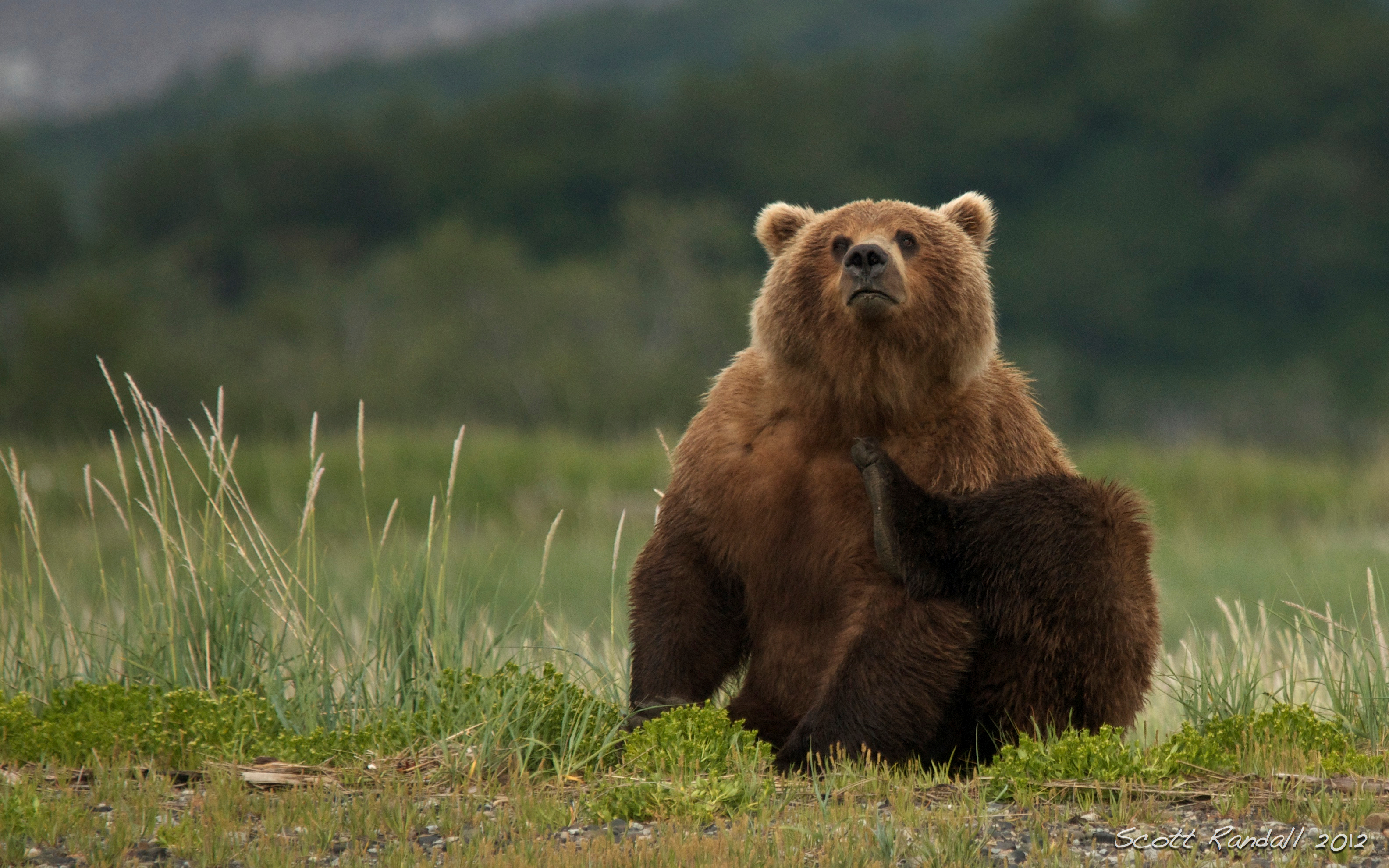 Brown Bear Standing Ne...