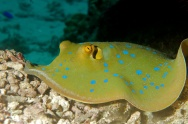 Green spotted ray in Fiji