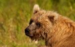 Brown Bear in Alaknak River