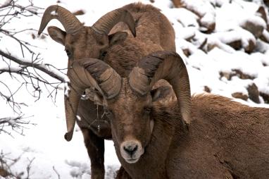 Big Horns, Aspen, Co