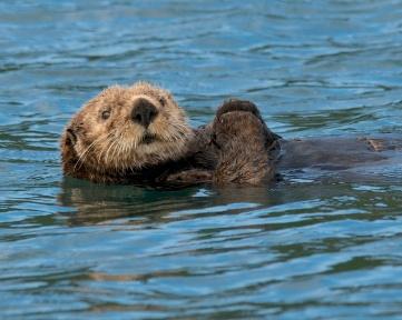 Sea Otter, Homer Alaska