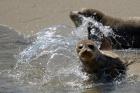 Seal pup at Children's bay in La Jolla