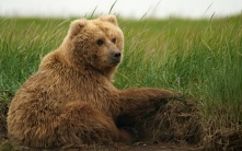 Brown Bear, Hallo Bay, Alaska