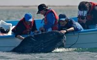 Whales in San Ignacio, Mexico