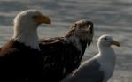Adult bald eagle, juvenile bald eagle, seagull - Homer Alaska