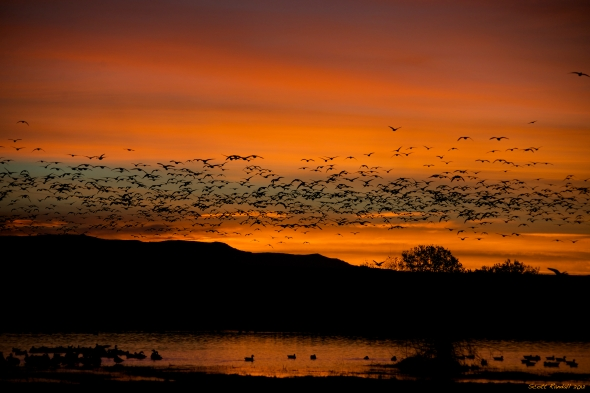 "The red dawn of the snow geese ""fly-in"""