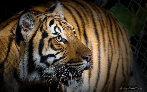 Shady Tiger