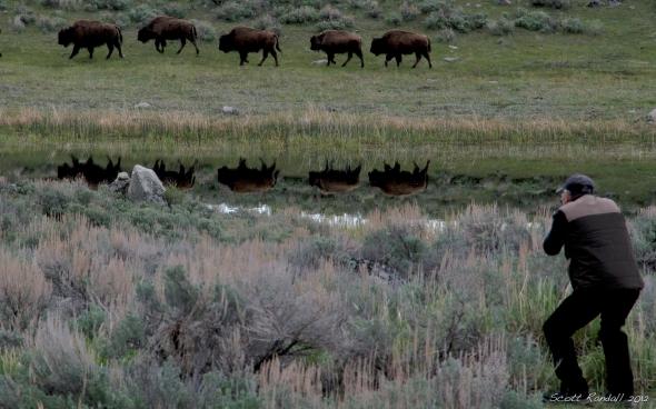 Multiple Bison Background
