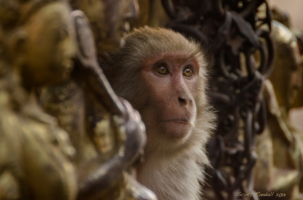 Buddhist Macaque
