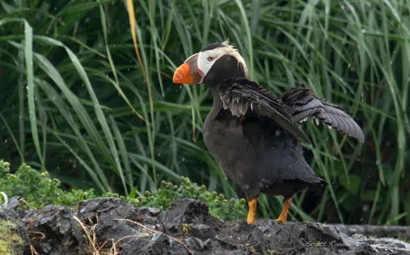 Tufted Puffin shaking off the rain