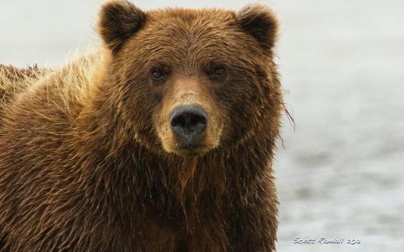 Fishing Bear Portrait