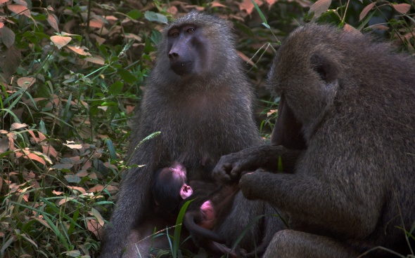 Togetherness - Baboon style