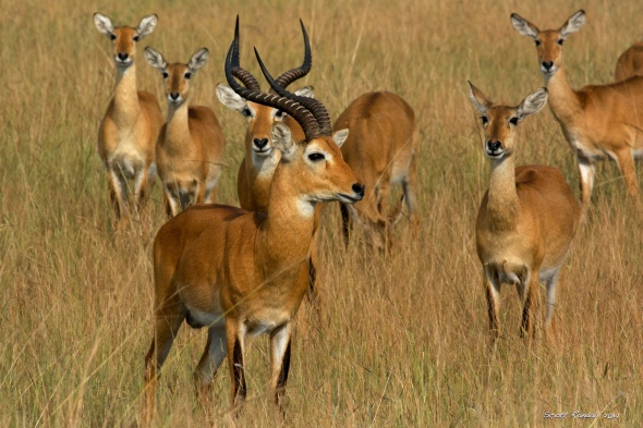 The Kob antelope - a very common sight