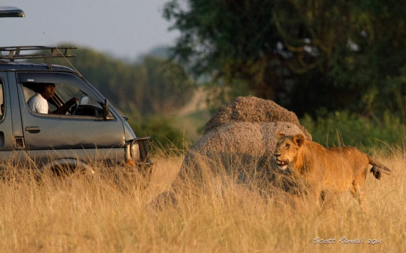 Lion uses a termite mound for cover while growling at the harassing vehicle