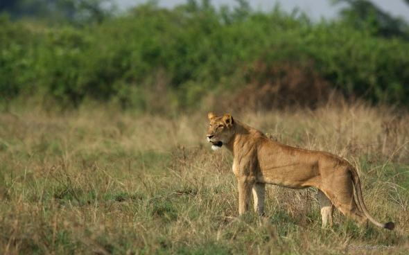 Lion crossing....