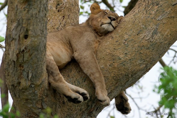 Must have had a hard night with the hyenas...