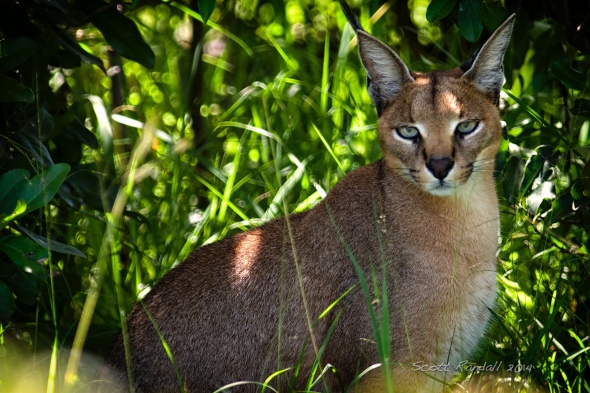 Meet the Caracal