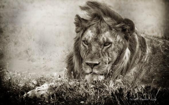 Serengeti Stare