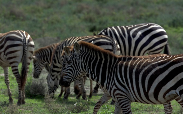 uncropped zebras standing around....