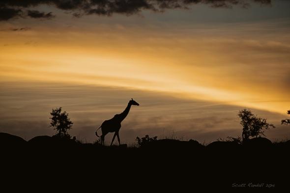 Giraffe wandering between night and day