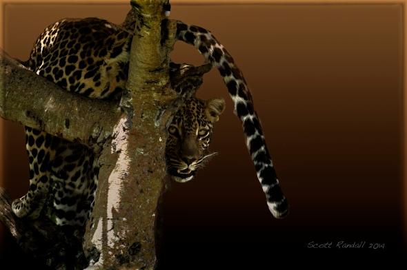 Leopard Tale