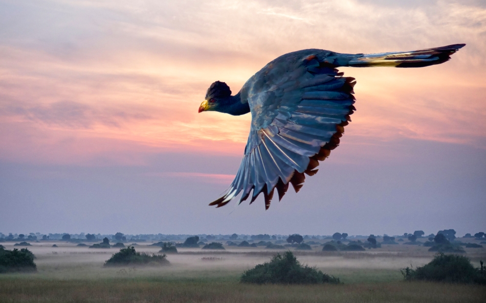 Great Blue Turaco in Sunrise Background