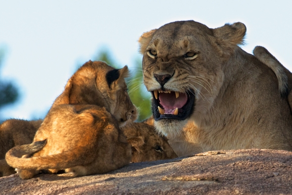 Adventurous moment - at least for the cub....