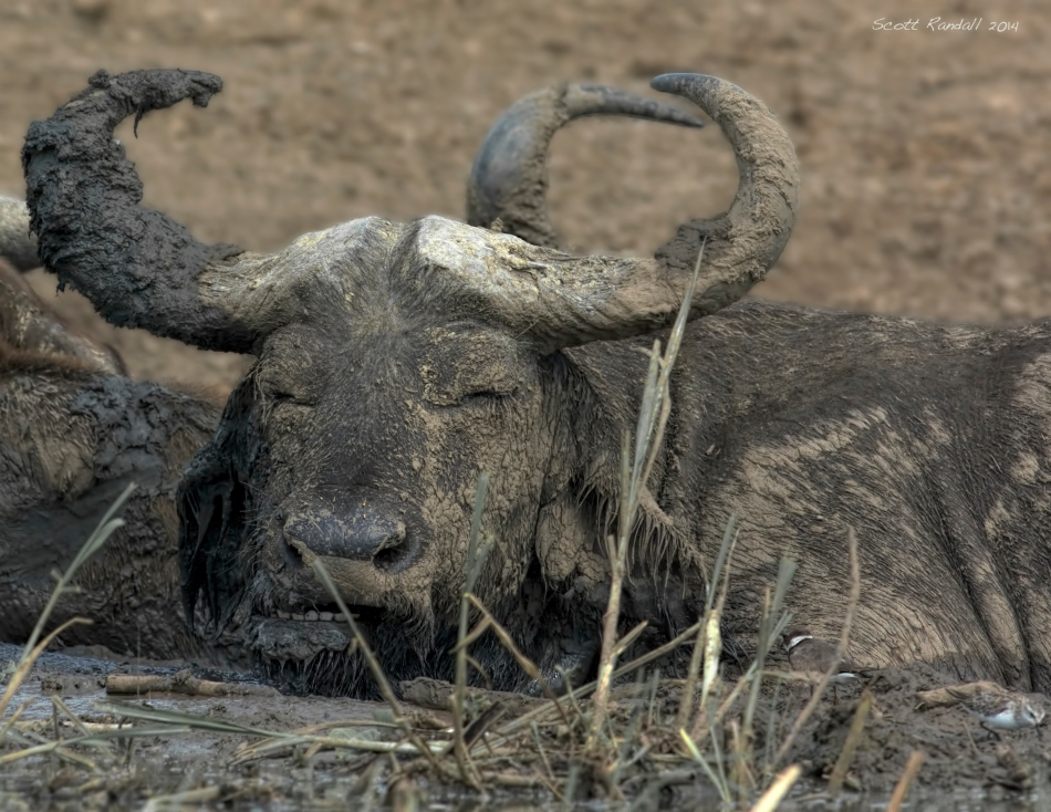Buffalo with a smile while being himself.....