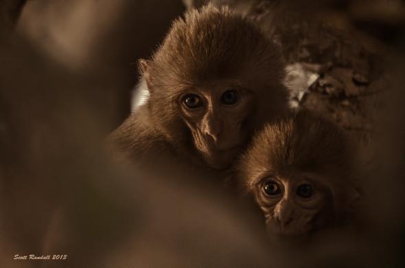 Macaques Bardia