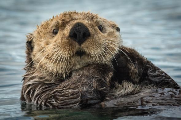 Sea Otter Scottseyephotos