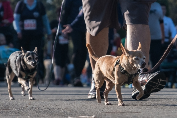 Chihuahua parade